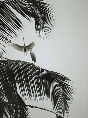michael-nichols-egrets-in-a-palm-tree-bali-indonesia