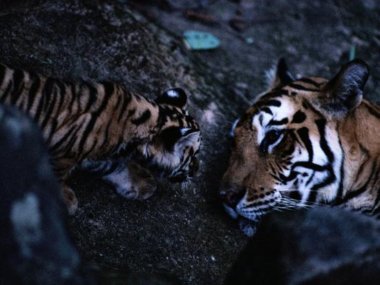 michael-nichols-indian-tiger-with-one-of-her-three-cubs