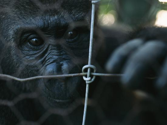 michael-nichols-orphaned-gorilla-at-gorilla-protection-project-to-be-released-in-wild