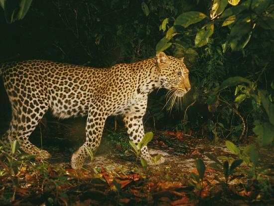 michael-nichols-picture-of-a-patrolling-leopard-taken-by-a-camera-trap