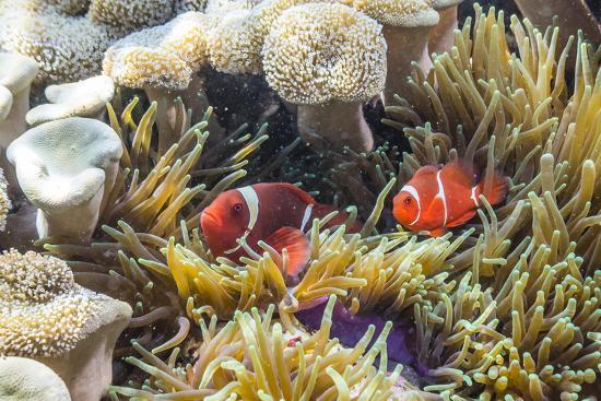 michael-nolan-a-pair-of-spinecheek-anemonefish-premnas-biaculeatus