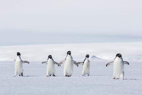 michael-nolan-adult-adelie-penguins-pygoscelis-adeliae-walking-on-first-year-sea-ice-in-active-sound