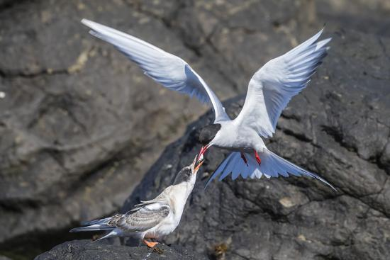 michael-nolan-adult-arctic-tern-sterna-paradisaea-returning-from-sea-with-fish-for-its-chick-on-flatey-island