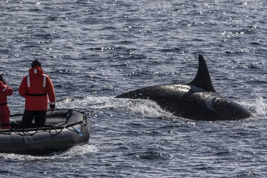 michael-nolan-adult-bull-type-a-killer-whale-orcinus-orca-surfacing-near-researchers-in-the-gerlache-strait