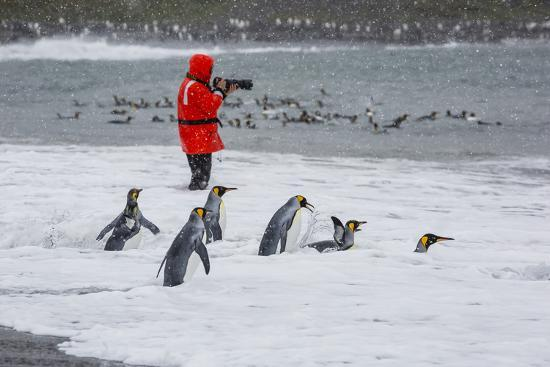 michael-nolan-adult-king-penguins-aptenodytes-patagonicus-going-to-sea-at-st-andrews-bay-polar-regions