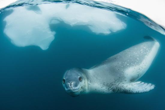 michael-nolan-adult-leopard-seal-hydrurga-leptonyx-inspecting-the-camera-above-and-below-water-at-damoy-point