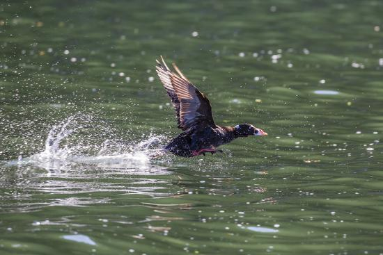 michael-nolan-adult-male-surf-scoter-melanitta-perspicillata-taking-flight-in-williams-cove-southeast-alaska