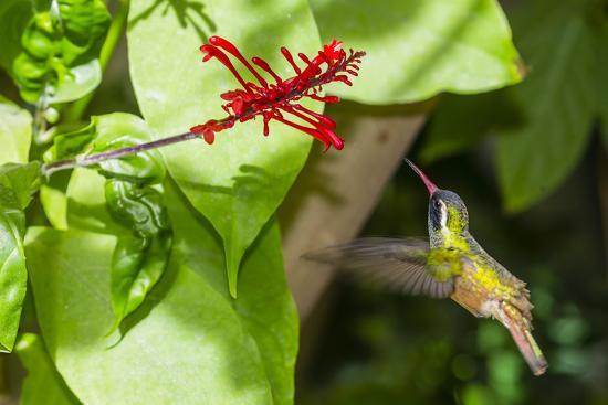 michael-nolan-adult-male-xantus-s-hummingbird-hylocharis-xantusii-todos-santos-baja-california-sur