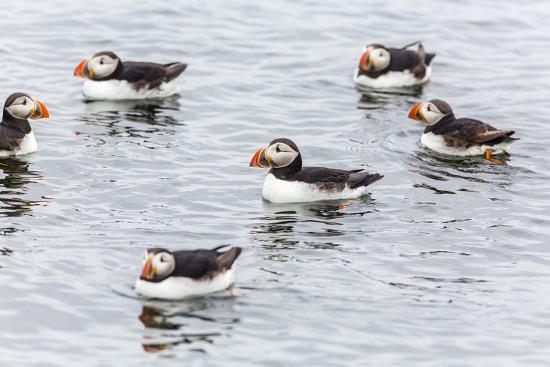 michael-nolan-atlantic-puffins-common-puffins-fratercula-arctica-flatey-island-iceland-polar-regions