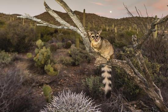 michael-nolan-captive-ringtail-bassariscus-astutus-at-sunset-arizona-sonora-desert-museum-tucson-arizona