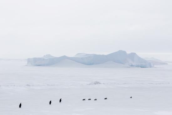 michael-nolan-emperor-penguins-aptenodytes-forsteri-marching-across-sea-ice-on-snow-hill-island