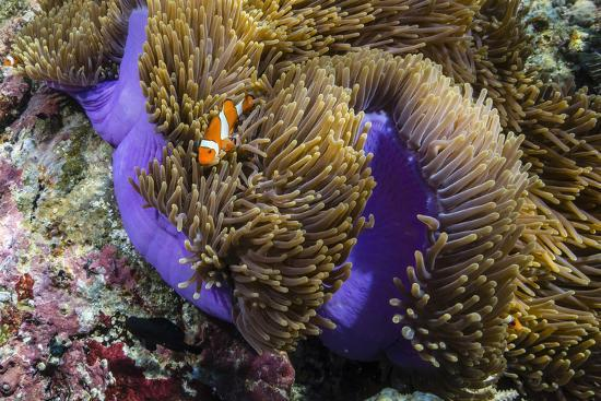 michael-nolan-false-clown-anemonefish-amphiprion-ocellaris