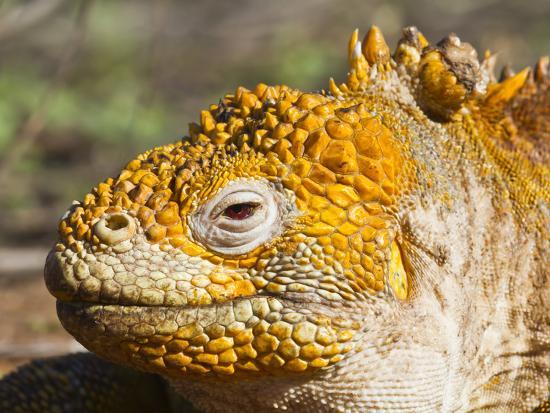 michael-nolan-galapagos-land-iguana-conolophus-subcristatus-galapagos-is-unesco-world-heritge-site-ecuador