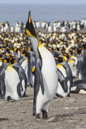 michael-nolan-king-penguin-aptenodytes-patagonicus-breeding-colony-at-st-andrews-bay