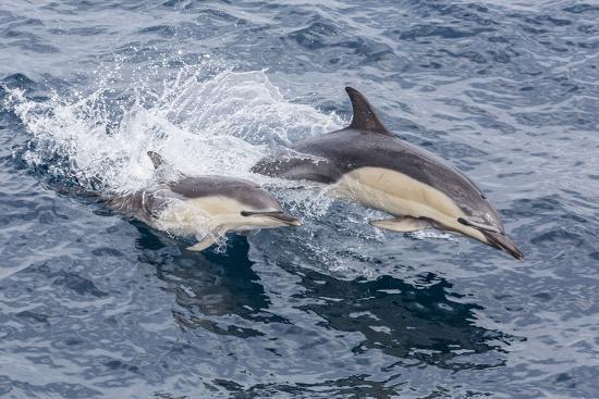 michael-nolan-long-beaked-common-dolphin-delphinus-capensis-leaping-near-white-island