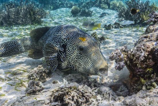 michael-nolan-map-puffer-arothron-mappa-feeding-on-sponges-on-the-house-reef-on-sebayur-island