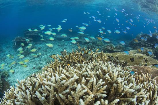 michael-nolan-reef-fishes-amongst-profusion-of-hard-plate-at-pulau-setaih-island-natuna-archipelago-indonesia