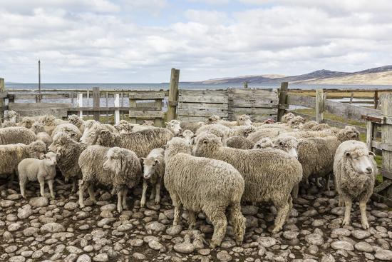 michael-nolan-sheep-waiting-to-be-shorn-at-long-island-sheep-farms-outside-stanley-falkland-islands