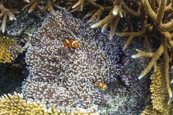 michael-nolan-underwater-clownfish-in-anemone-at-pulau-setaih-island-natuna-archipelago-indonesia