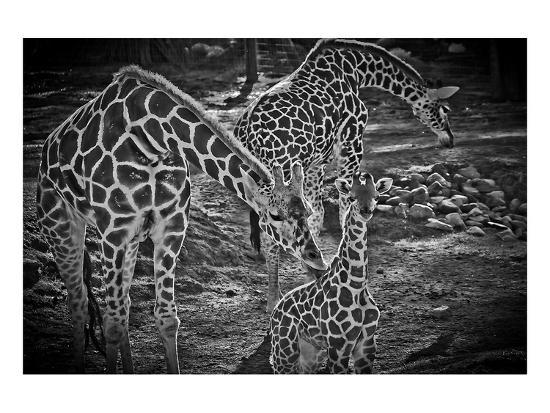 michael-polk-giraffes-b-w