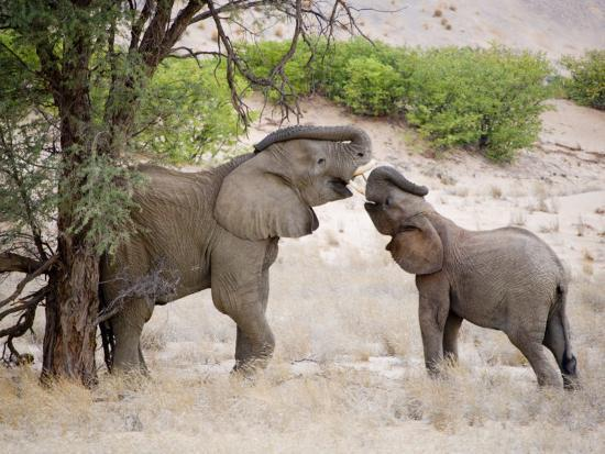 michael-polzia-two-elephants-lift-their-trunks-as-they-play