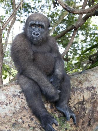 michael-polzia-young-gorilla-sitting-on-a-log