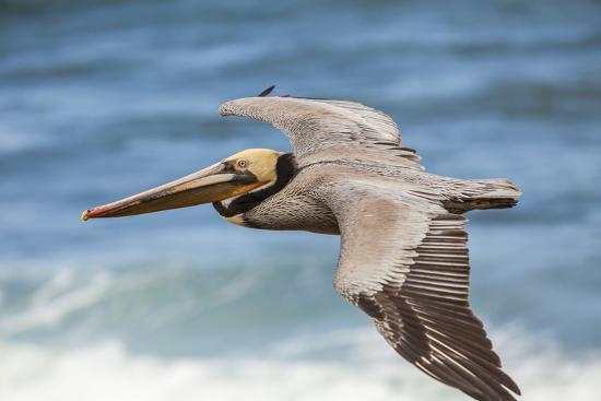 michael-qualls-brown-pelican-soaring-la-jolla-cove-san-diego