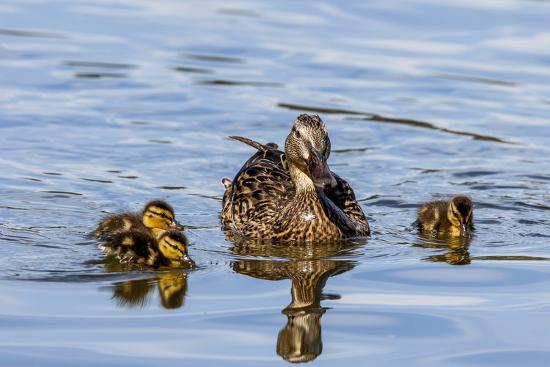 michael-qualls-the-hen-and-young-mallard-chicks-cruising-the-waters-of-lake-murray