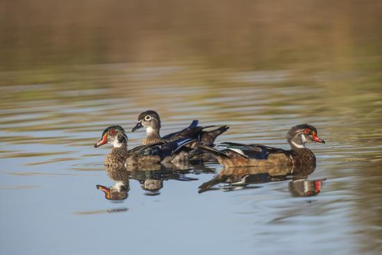 michael-qualls-wood-ducks-divergent-directions-lake-murray-san-diego-california