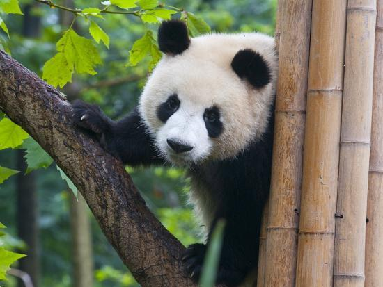 michael-runkel-giant-panda-ailuropoda-melanoleuca-at-the-panda-bear-reserve-chengdu-sichuan-china-asia