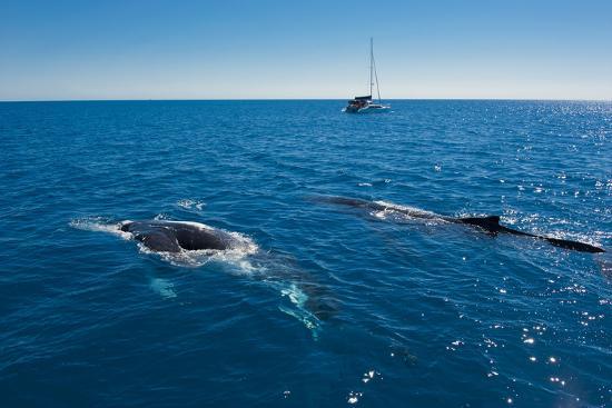 michael-runkel-humpback-whale-megaptera-novaeangliae-watching-in-harvey-bay-queensland-australia-pacific