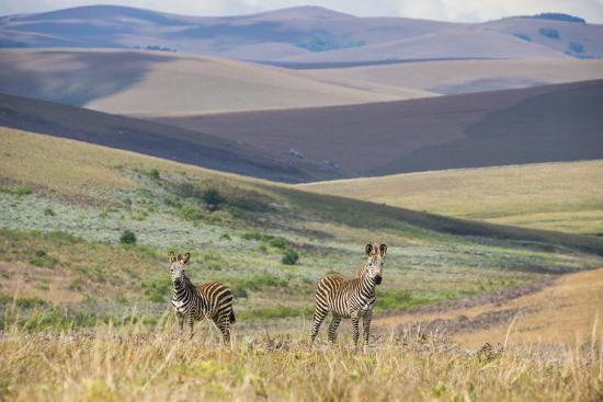 michael-runkel-plains-zebras-equus-quagga-nyika-national-park-malawi-africa