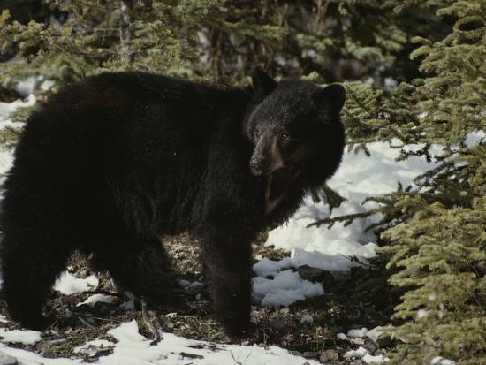 michael-s-quinton-a-black-bear-takes-a-look-around