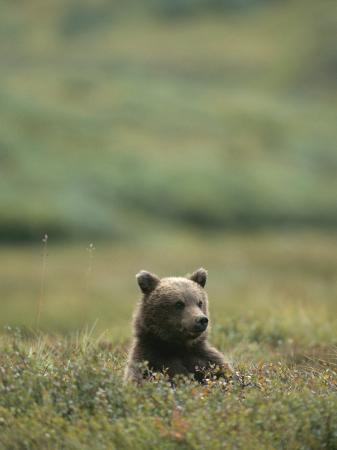 michael-s-quinton-a-grizzly-bear-sits-in-a-meadow