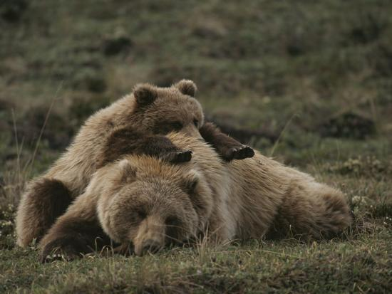 michael-s-quinton-a-grizzly-mother-and-her-cub-lounge-together-in-a-field