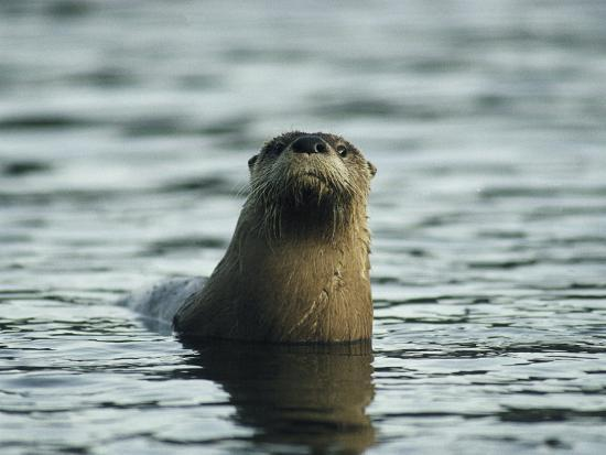 michael-s-quinton-a-river-otter-pokes-its-head-above-water-to-see-what-is-going-on