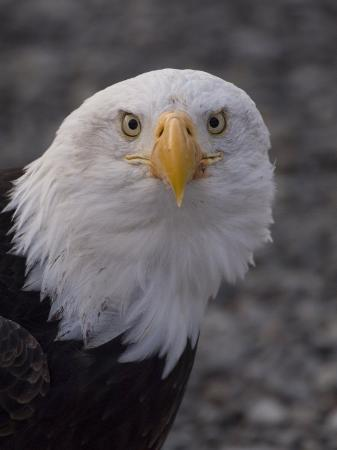 michael-s-quinton-adult-bald-eagle-haliaeetus-leucocephalus-alaska