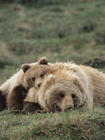 michael-s-quinton-alaskan-brown-bear-or-grizzly-bear-ursus-arctos-mother-and-cub-resting-denali-alaska