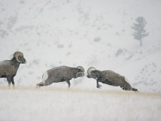 michael-s-quinton-american-bighorn-rams-square-off-in-a-duel