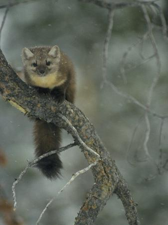 michael-s-quinton-an-american-marten-in-a-tree-during-a-light-snowfall