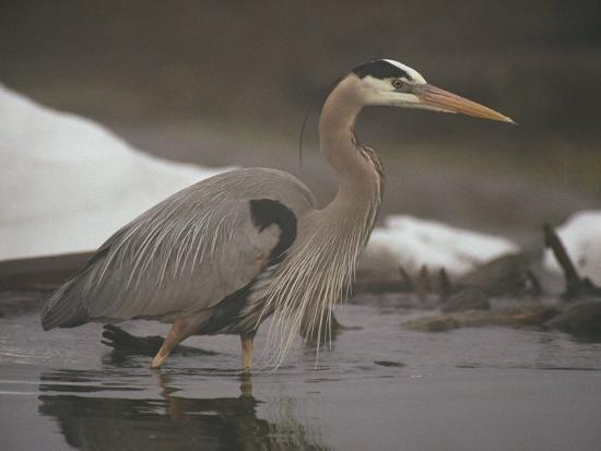 michael-s-quinton-close-view-of-a-great-blue-heron-searching-the-shallows-for-food