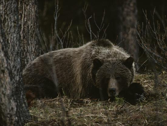 michael-s-quinton-grizzly-bear-ursus-arctos-horribilis-lying-down-in-the-woods