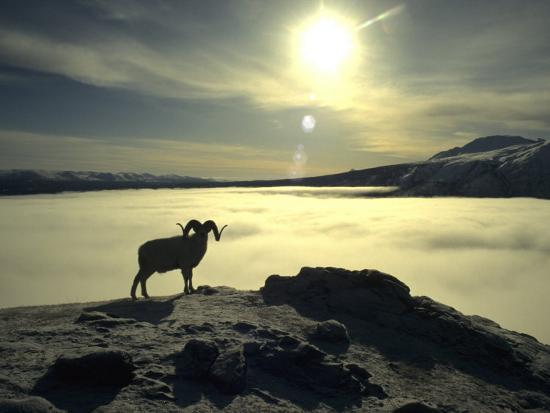 michael-s-quinton-large-dall-sheep-ram-on-top-of-a-mountain-in-kluanee-national-park