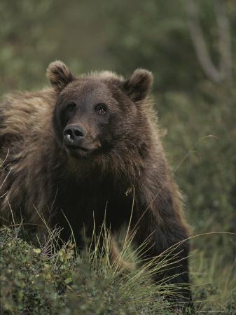 michael-s-quinton-portrait-of-a-grizzly-bear