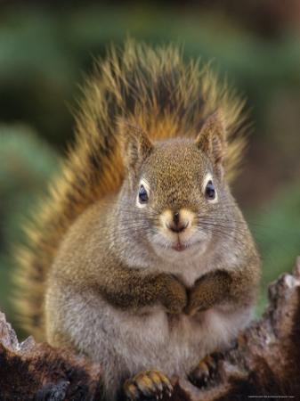 michael-s-quinton-red-squirrel-sitting-on-tree-snag-alaska
