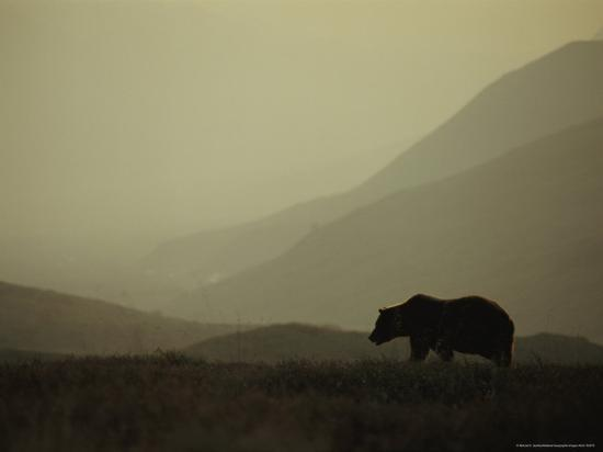 michael-s-quinton-silhouetted-grizzly-bear-in-a-foggy-mountain-landscape