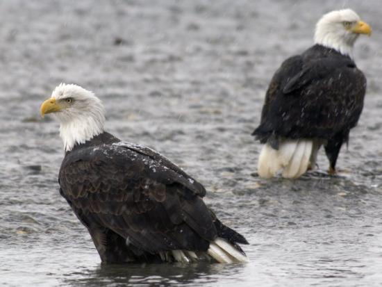 michael-s-quinton-two-bald-eagles-wait-to-feed-on-dead-chum-salmon-southeast-alaska