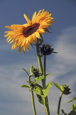 michel-hersen-sunflowers-hood-river-oregon-usa