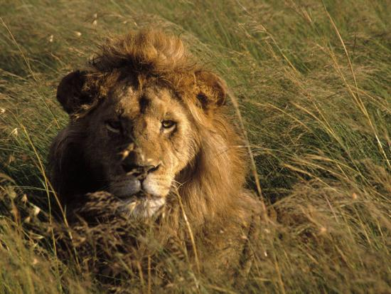 michele-burgess-lion-in-long-grass-masai-mara-national-park-kenya