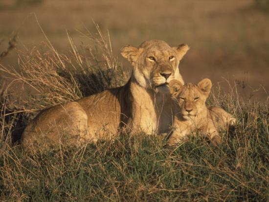 michele-burgess-lioness-and-cub-masai-mara-reserve-kenya